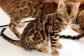 Gorgeous Bengal Kitten Very Playful TICA Registered