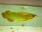 buy quality arowana fishes, chili red, green, silver, asian gold and more(gregpints007@gmail.com)./