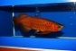 Super red Asian arowanas for your home and office aquarium tanks