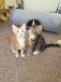 Beautiful Part Maine Coon Kittens.