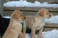 Playful Golden Retriever Puppies for sale